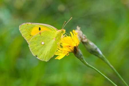 clouded: Clouded Yellow Butterfly of genus Colias on a yellow flower Stock Photo