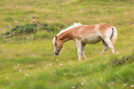 palomino: Palomino horse on a meadow pasturing