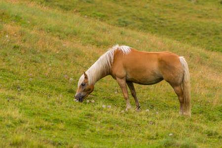 herbivorous animals: Palomino horse on a meadow pasturing