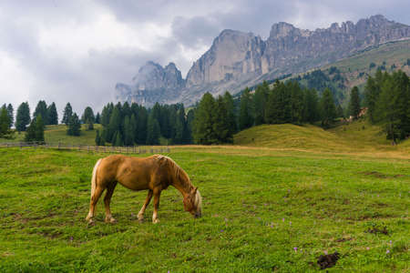 palomino: Palomino horse grazing in the meadows under the peak of the Rosengarten Group