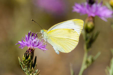 pieris: Pieris Rapae, butterfly normally called Small cabbage white
