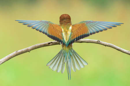 coraciiformes: Bee-eater (also called merops apiaster) spreading wings on a branch