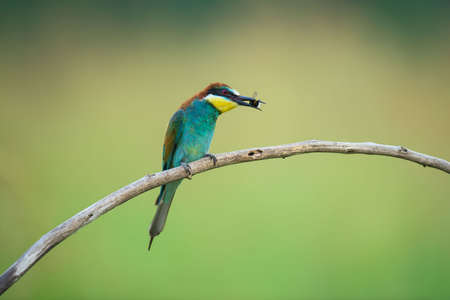 coraciiformes: Bee-eater (also called merops apiaster) on a branch eating insects