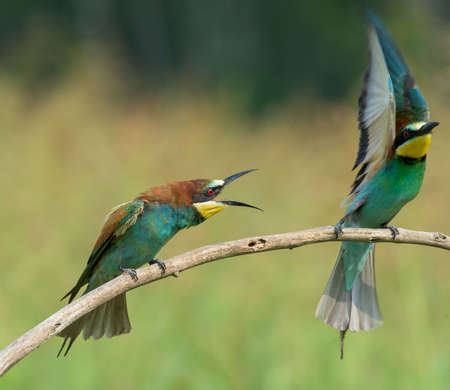 coraciiformes: Two bee-eaters, on a branch: one spreading wings