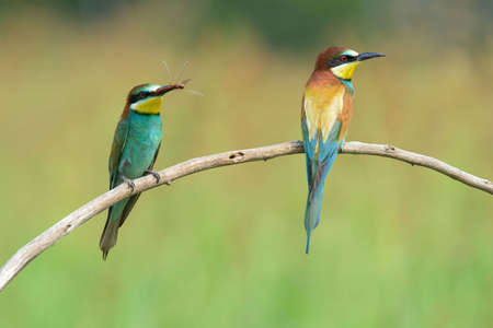 coraciiformes: Bee-eater (also called merops apiaster) on a branch