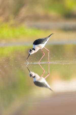black winged stilt: Black winged stilt reflecting in a pond