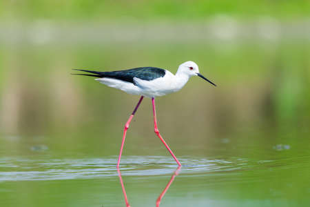 black winged stilt: Black winged stilt in a pond