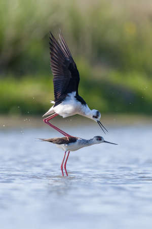 black winged stilt: Reproduction of black winged stilt in a pond