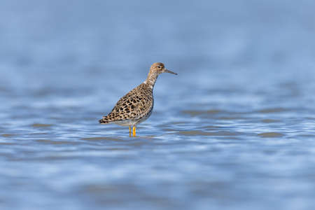 charadriiformes: Ruff on a pond in an oasis of Piedmont Stock Photo