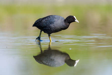 coot: Coot looking for nourishment in a pond