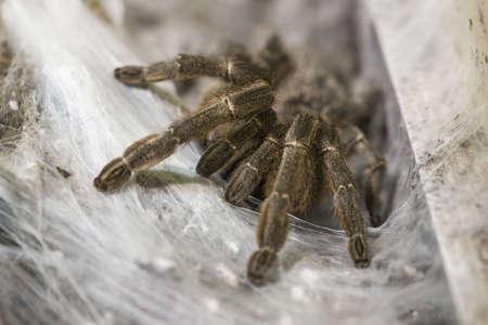 arthropod: Poisonous tarantula in a terrarium