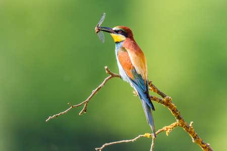 European bee-eater, a small bird of family of coraciformes