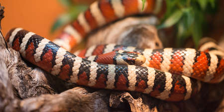 the Arizona mountain kingsnake, is a species of snake native to Arizona. It can grow up to 36 inches (910 mm) in length.