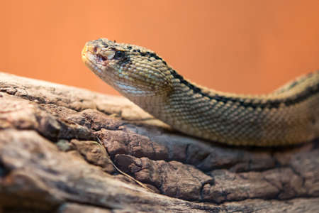 Rattlesnakes are a group of venomous snakes of the genera Crotalus