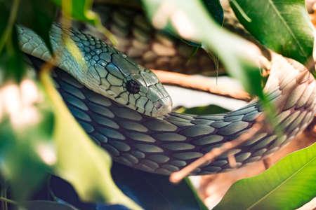 Higlly venomous snake of the elapids family: the mamba Stock Photo