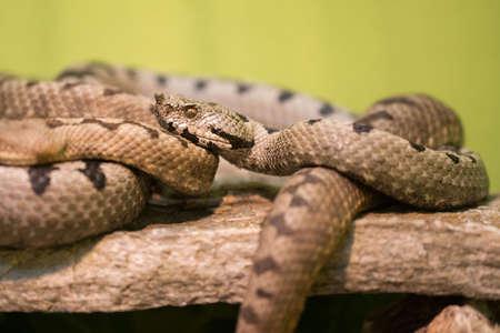 Vipera transcaucasiana is a venomous viper species
