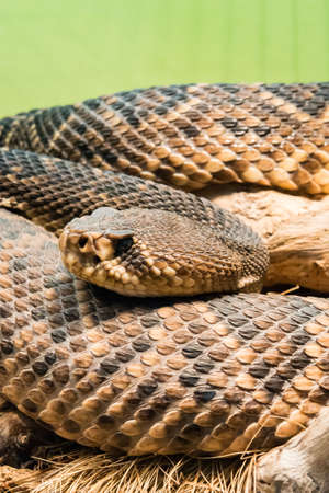 diamondback rattlesnake is a pit viper species found in the southeastern United States Stock Photo