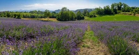 Lavander fields in Sale San Giovanni, village in Piedmont, called Little Provence for the blooming Standard-Bild