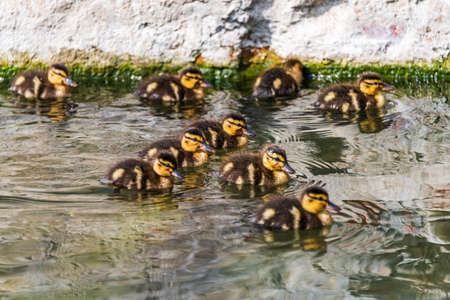 A group of little duckling on a river