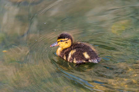 Duckling, a little duck on a river