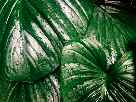 Close up rain drop on tropical natural leaves . texture green palm leaf in forest for background . hipster and vintage style .