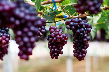 purple organic fruit in vineyard . bunch of ripe fresh grape at nature garden to make wine or juice . Imagens