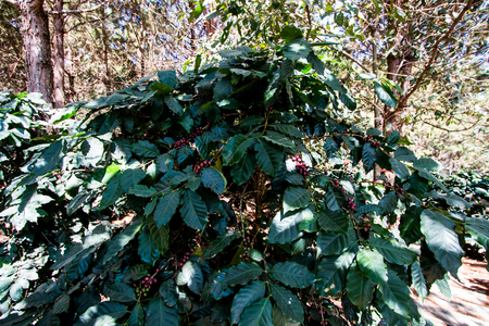 Arabica berry coffee beans on tree .