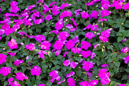 fresh purple flowers bouquet decoration in natural garden , beautiful tropical background in spring season . exotic various bundle blossom . romantic scenic at royal national park in Thailand .