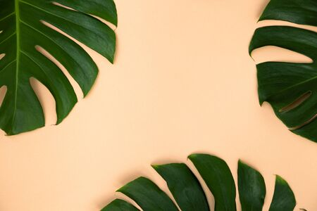 Close Up Top View Texture of Real Philodendron Split Green Leaf Monstera deliciosa Foliage . Tropical Rainforest Plant on Minimal Pastel Colour Background with Space for Text , Horizontal Flat Lay . 免版税图像
