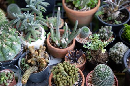 close up group of various cactus in pot decorate a mini garden in backyard . succulent plant with sharp thorn minimal style and tropical environment . Reklamní fotografie