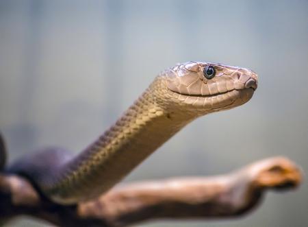 Black mamba portrait / snake / reptile / dangerous / poisonous Фото со стока