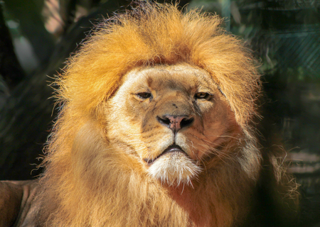Portrait of huge beautiful male African Lion