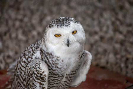 Snowy owl portrait.