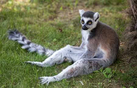 Lemur isolated sits on the grass. Stock Photo