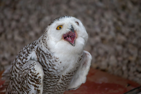 Snowy owl shows its open mouth. Stock fotó