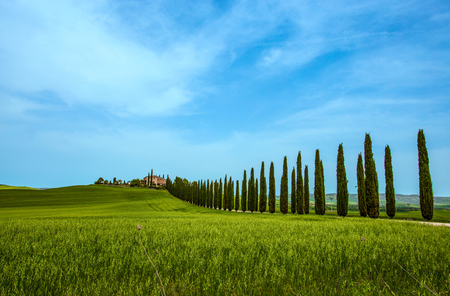 Cypress Trees rows and a white road, rural landscape in val d Orcia land near Siena, Tuscany, Italy, Europe.