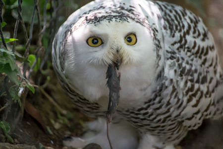 Snowy owl catches in small rat.