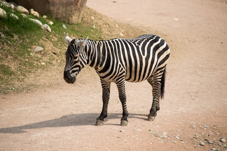 Isolated zebra in the dust. 스톡 콘텐츠