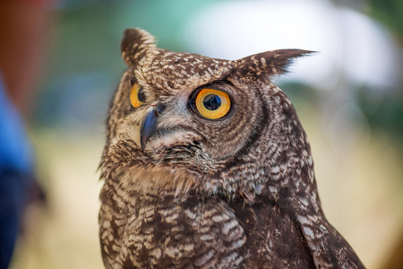 African owl portrait Stock Photo