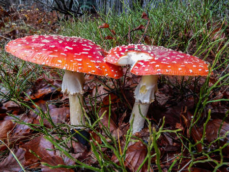 Amanita muscaria mushroom close up in a forest of beeches, Italy. Standard-Bild