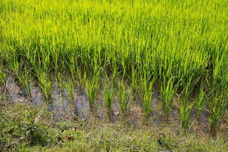 Young rice are growing in the paddy field in Thailand, Asia. Standard-Bild