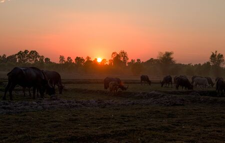 Sunset in a country field with buffaloes grazing, north east Thailand, Asia
