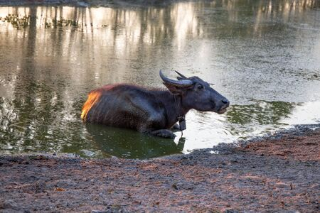 Isolated buffalo in a pond in the north east Thailand, Asia.