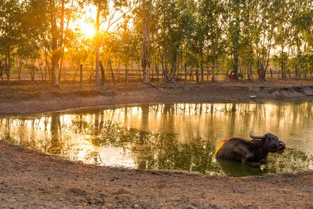 Isolated buffalo in a pond at sunset in the north east Thailand, Asia. Standard-Bild