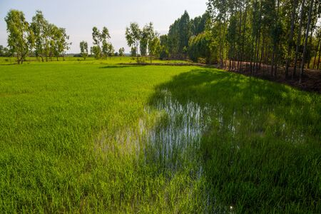 Rice green fields in a sunny day, Thailand Standard-Bild
