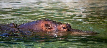 Hippopotamus on the water close up Standard-Bild