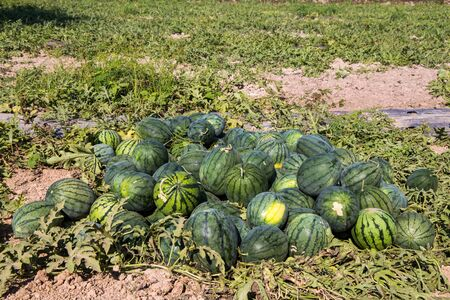 Watermelons field in Isan, North east of Thailand, Asia. Standard-Bild