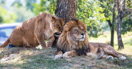 Lion and lioness lie down on the grass Standard-Bild