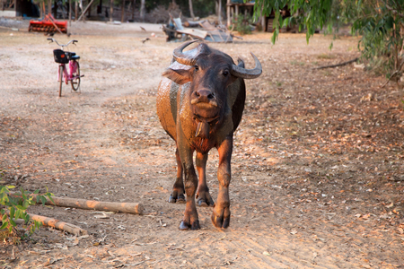 Adult buffalo looking at the camera, Thailand, Asia