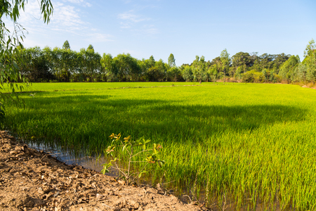 Rice green fields in a sunny day, Thailand Stock Photo